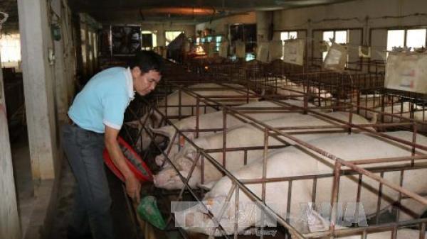 Nông dân Vĩnh Phúc hồ hởi vui mừng vì giá lợn hơi tăng cao