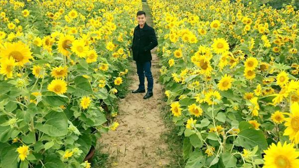 Ngay gần Hưng Yên, có một vườn hoa hướng dương khoe sắc giữa những ngày đông rét mướt