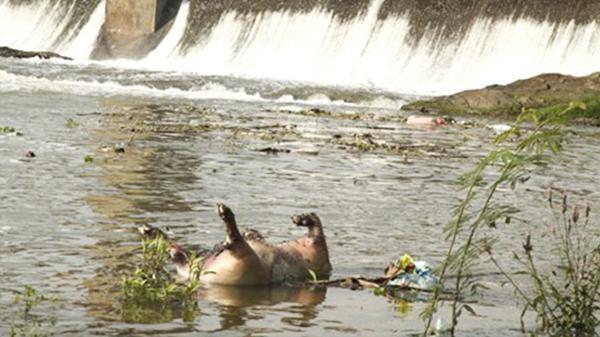 Vĩnh Phúc: Nhiều xác lợn chết trôi trên sông Phó Đáy