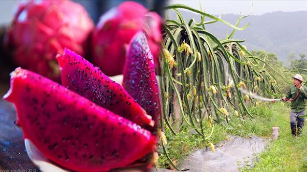 Người tạo nền tảng thúc đẩy xuất khẩu Thanh long ruột đỏ Vĩnh Phúc ra thị trường quốc tế