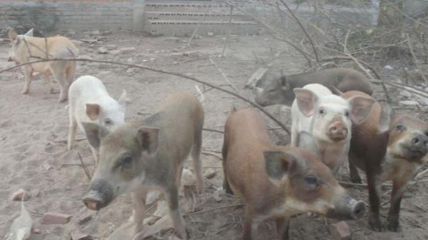 Lạ lùng nuôi lợn trong biệt thự với mức đầu tư hàng tỷ đồng
