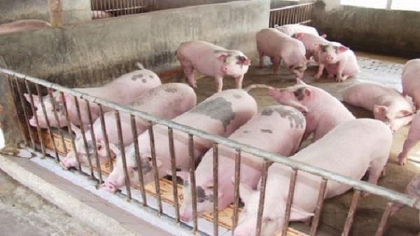 Giá lợn hơi cả nước bật tăng chóng mặt trở lại, cao nhất trong vòng nửa năm qua