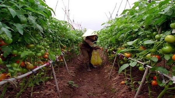 Vĩnh Phúc: Lạ mắt vườn cà chua ghép trên gốc cà tím thu tiền tỷ
