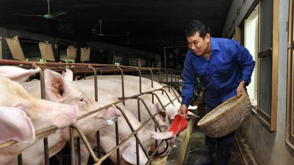 Giá lợn hơi tăng - người dân nên thận trọng tái đàn