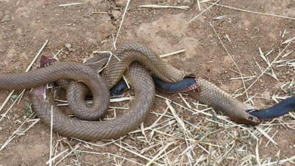 """Sốc: Đang nuốt dở con mồi, rắn nâu bị rắn đen """"đục thân"""" thoát ra ngoài ngoạn mục"""