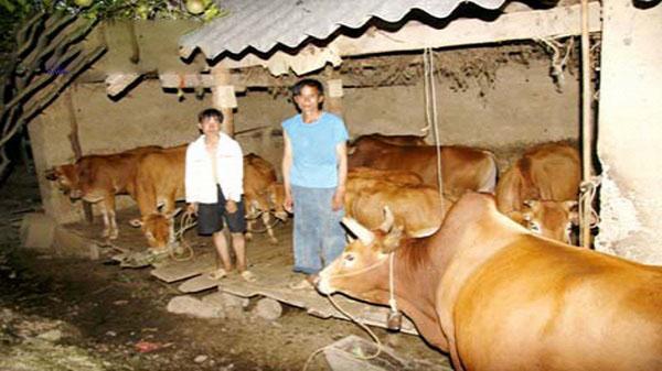 Hà Giang: Một hộ dân tộc thoát nghèo vươn lên làm giầu điển hình của huyện nhờ nuôi vỗ béo bò thịt