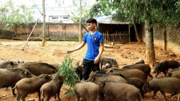 Chàng sinh viên 18 tuổi bỏ Đại học, về nhà nuôi lợn rừng kiếm 250 triệu đồng/năm