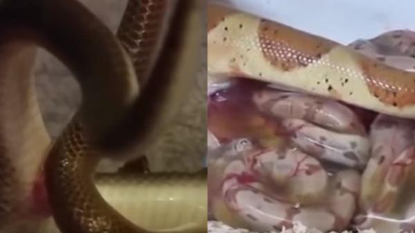 Rắn hổ mang quằn quại rít từng cơn, 30 phút sau bỏ chạy sấp mặt khi nhìn thấy thứ kinh dị chui ra dưới bụng nó