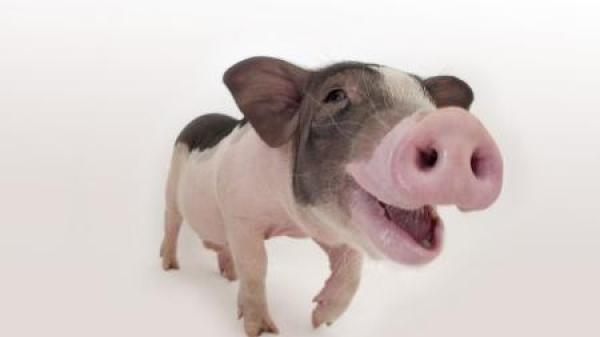 Hà Giang: Đội quản lý thị trường số 8 tiêu hủy hơn 3 tấn lợn nhập lậu