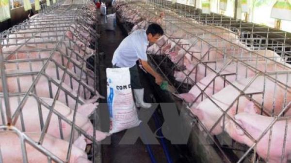 Tốc độ tăng đàn kỷ lục khiến giá lợn hơi giảm chưa từng có