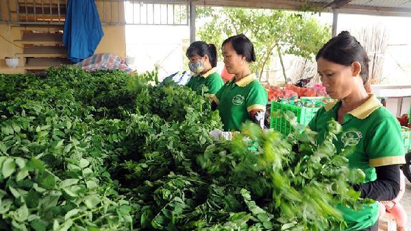 Mô hình điểm sản xuất nông sản sạch ở Vĩnh Phúc