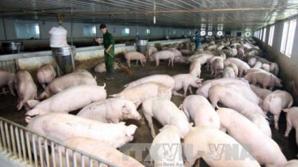 Giá 1 kg lợn hơi bằng... 4 ly trà đá