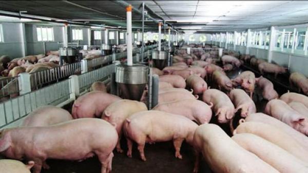 Thịt lợn rẻ hơn rau, Bộ Nông nghiệp 'cầu cứu' Thủ tướng