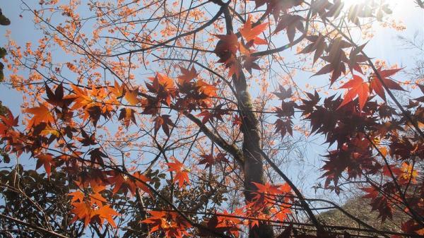 Vĩnh Phúc là một trong 8 tỉnh sở hữu khu rừng lá phong đỏ tuyệt đẹp làm say đắm lòng người