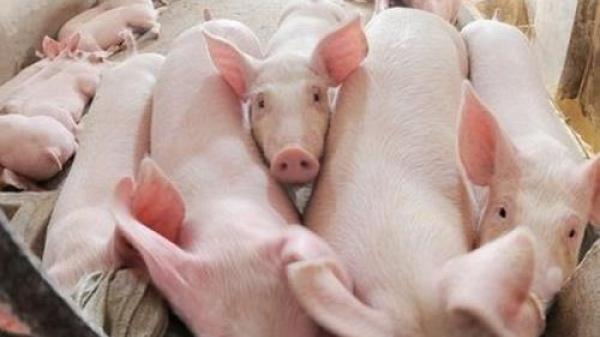 Giá cả thị trường ngày hôm nay (24/10): Giá lợn hơi tại miền Bắc bật lên tăng mạnh
