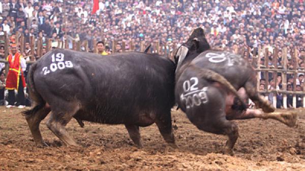 Lễ hội chọi trâu Hải Lựu - Một lễ hội đặc sắc, đậm đà bản sắc dân tộc