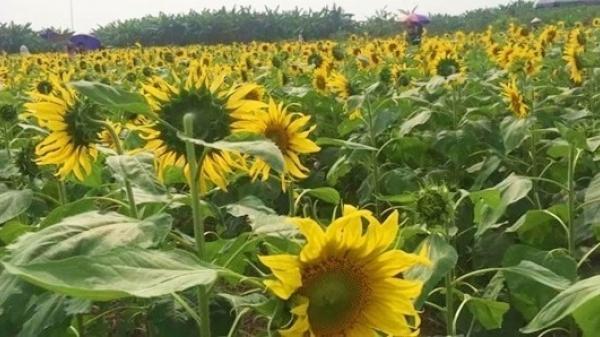 Chẳng phải đi đâu xa, ngay gần Vĩnh Phúc có một địa điểm check in hoa hướng dương đẹp đến mê hồn