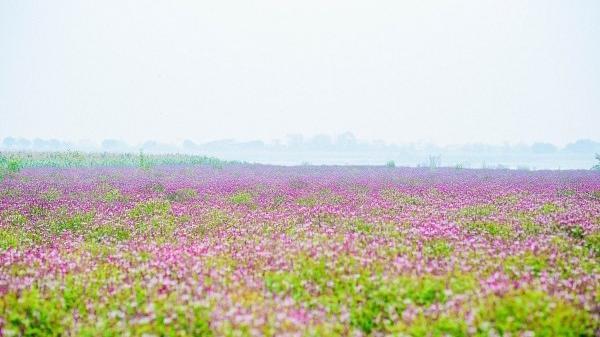 """Tận mắt xem """"cánh đồng hoa Lavender"""" ở ngay gần Vĩnh Phúc gây sốt cộng đồng mạng"""