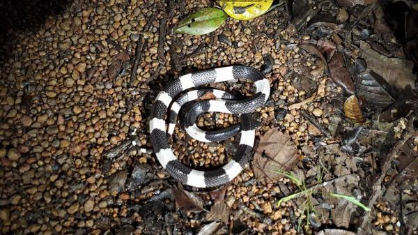 Rắn cạp nia cực độc lại mò vào nhà dân Nghệ An: Vì sao gần đây rắn độc liên tục xuất hiện?