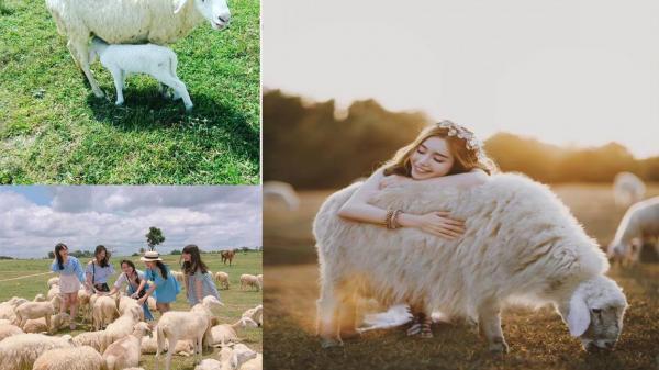 """Đâu phải chỉ Ninh Thuận mới có, ở Vũng Tàu cũng có đồi cừu chụp hình chất từng """"centimet"""""""