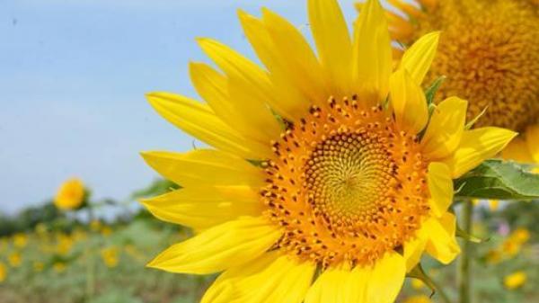 Đến Ninh Thuận chiêm ngưỡng cánh đồng hoa hướng dương tại khu Du lịch Sen Charaih