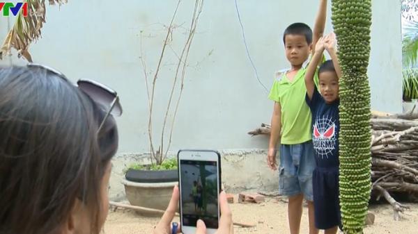 Kỳ lạ buồng chuối dài gần 2 m trổ hơn 200 nải ở Phú Yên