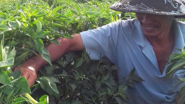 Phú Yên: Trồng ớt xen hành thu lãi hơn 100 triệu đồng/vụ/2.500 m2