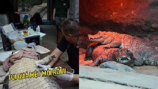 """Cặp cá sấu miệt mài giao phối 46 năm nhưng vẫn chưa có con, vấn đề nằm ở """"kích cỡ"""""""