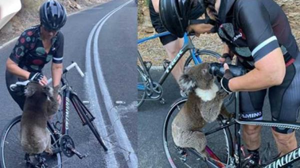 Kiệt quệ vì nắng nóng, gấu Koala vô tư tu hết bình nước của người lạ