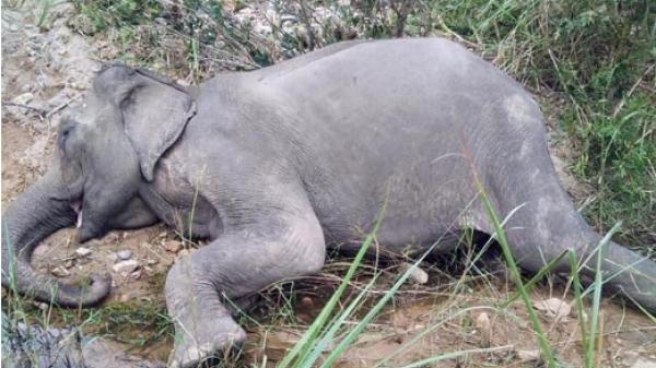 Con voi cuối cùng ở Bắc Tây Nguyên đã c.h.ế.t