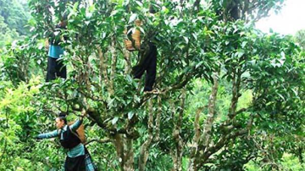 Yên Bái: Lên Suối Giàng thưởng trà Shan tuyết, vãn cảnh trong sương mù