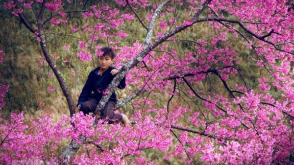 Chếnh choáng hương sắc mùa hoa tớ dày nở rộ ở Tây Bắc
