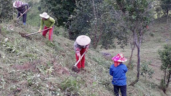 Cây sa nhân tím giúp người dân Mường Nhé thoát nghèo