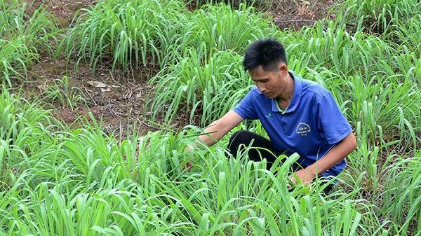 Trưởng bản Điện Biên làm giàu từ trồng sả, thu nhập 100 triệu/1 năm