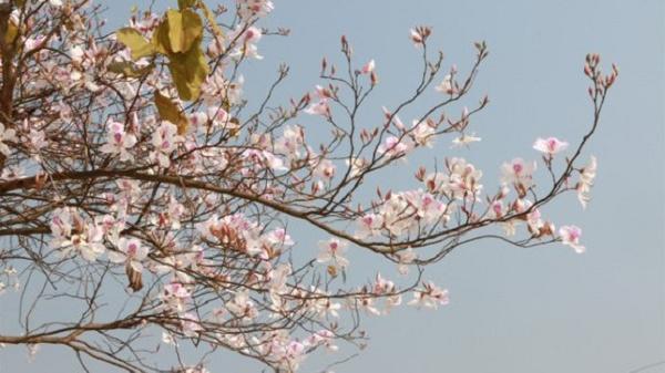 Ngắm hoa ban rợp trời Tây Bắc tại Lễ hội hoa ban 2020 ở Điện Biên