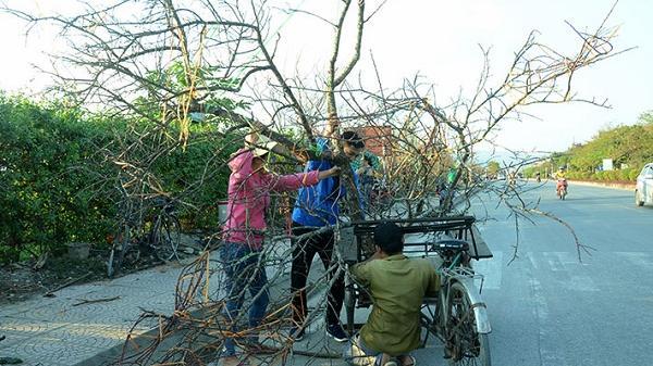 """Điện Biên: Ðào rừng """"chở"""" mùa xuân xuống phố"""