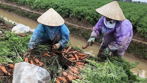 Nông dân Cẩm Giàng thắng lớn vụ cà rốt