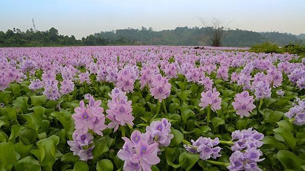 Vẻ đẹp hoa lục bình trong lòng hồ Đồng Tuyển