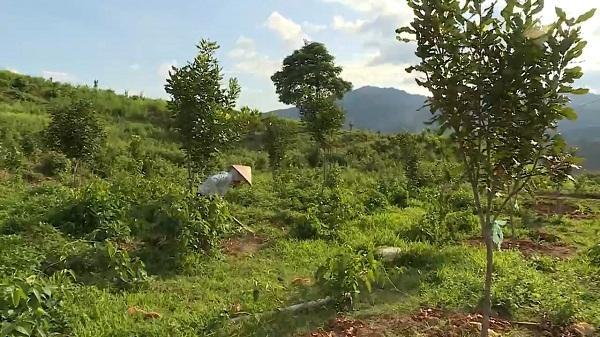 Điện Biên: Gần 100ha cây Mắc Ca phát triển tốt