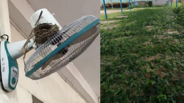 Hốt hoảng cảnh cây cỏ mọc um tùm phủ kín sân trường, chim làm tổ trên quạt treo tường vì học sinh nghỉ dịch quá lâu