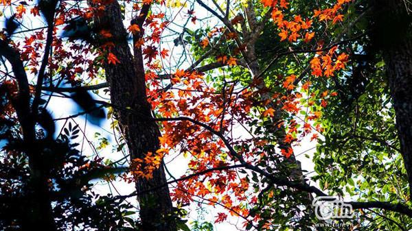 Lào Cai lọt top 5 địa điểm ngắm lá phong đẹp không kém nước ngoài tại Việt Nam