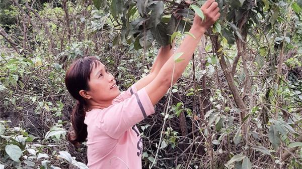 Hà Nam: Trèo núi đá lởm chởm săn loài rau rừng nổi tiếng, bán 300 ngàn/kg