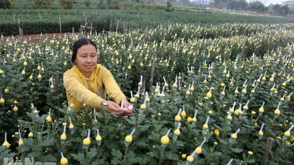 Hà Nam: Làng hoa Phù Vân chuẩn bị vào vụ, khách đã đến vườn đào chọn cây chơi Tết
