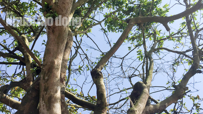 Cây mai khủng này có chiều cao khoảng 7 m, tán rộng khoảng 8 m, chu vi gốc khoảng 1,2 m