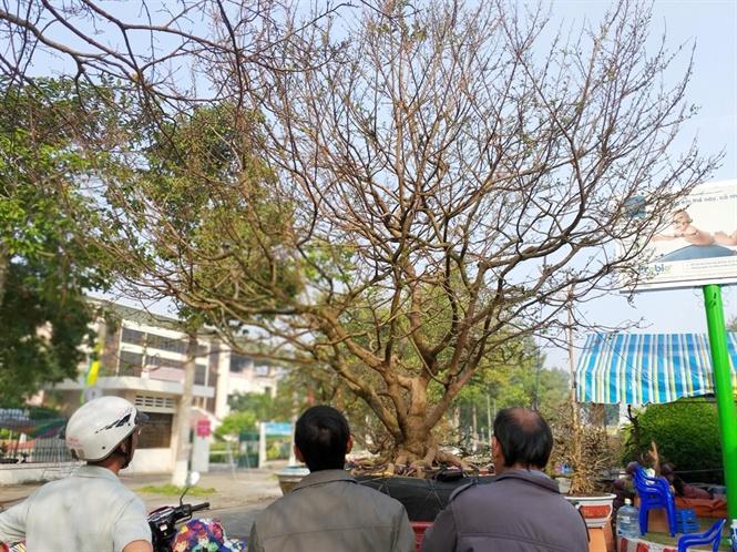 Còn tại Đồng Tháp chợ hoa xuân phường Mỹ Phú, TP.Cao Lãnh chiêm ngưỡng cây mai khủng đang rao bán 2 tỷ đồng