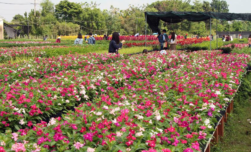 Thổ nhưỡng và khí hậu tốt giúp các loài hoa đẹp ở làng hoa Sa Đéc đua nhau tỏa sắc khoe hương. Những chậu hoa xuân được tưới nước, chăm sóc cẩn thận phục vụ khách chơi Tết