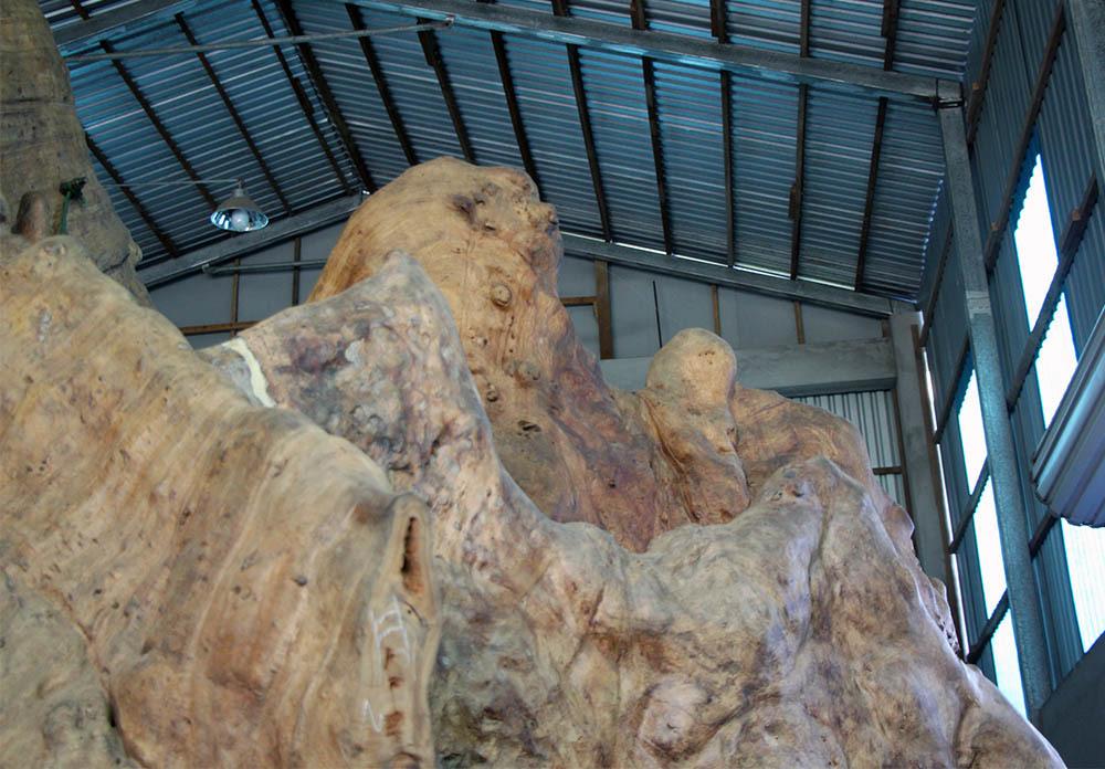 Theo ông Kiên, đoạn rễ tự nhiên này nhìn giống đầu sư tử