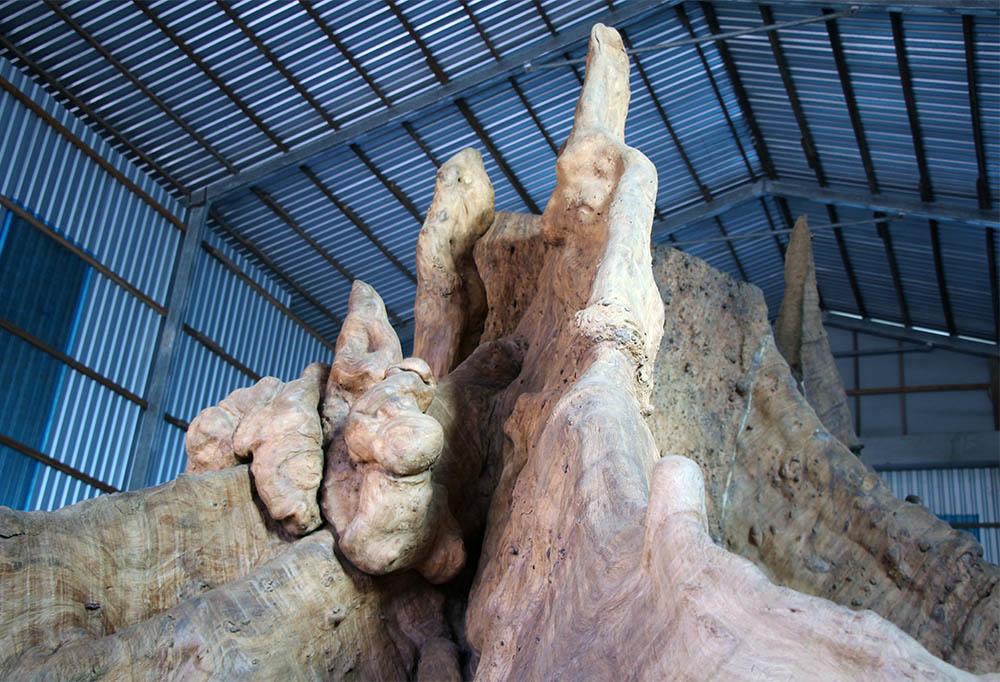 Bộ gốc và rễ có nhiều khối u, hoa văn kỳ thú