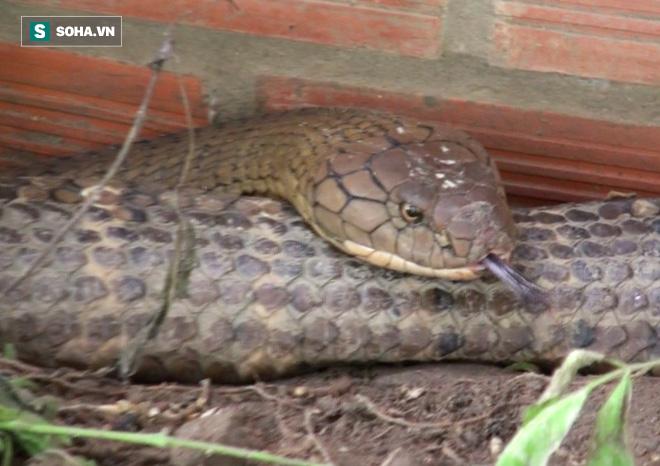 Tổng trọng lượng 2 con lớn nhất khoảng 60 kg, với chiều từ 6 - 7m/con.