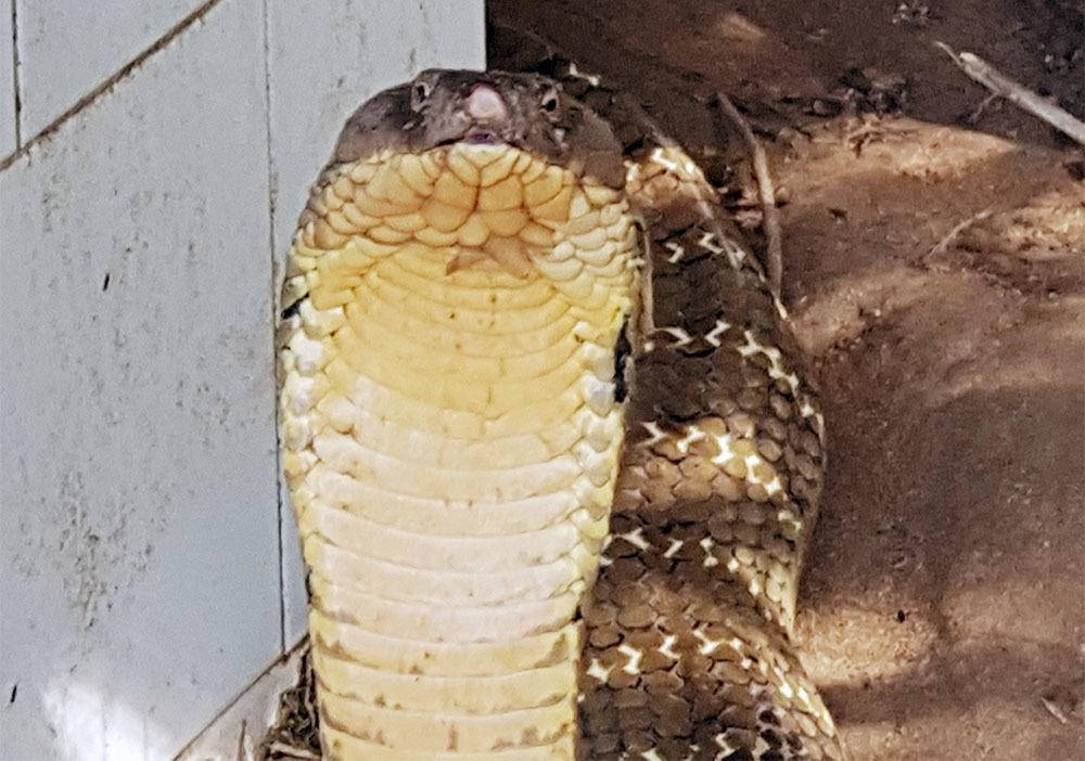 Con rắn hổ phùng mang hướng về du khách